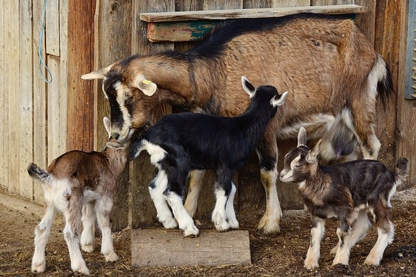 How to keep goat?  complete information